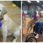 DDCE Staff Profile: Morey Shryock, Service Dog and Unofficial Mascot of the SSD